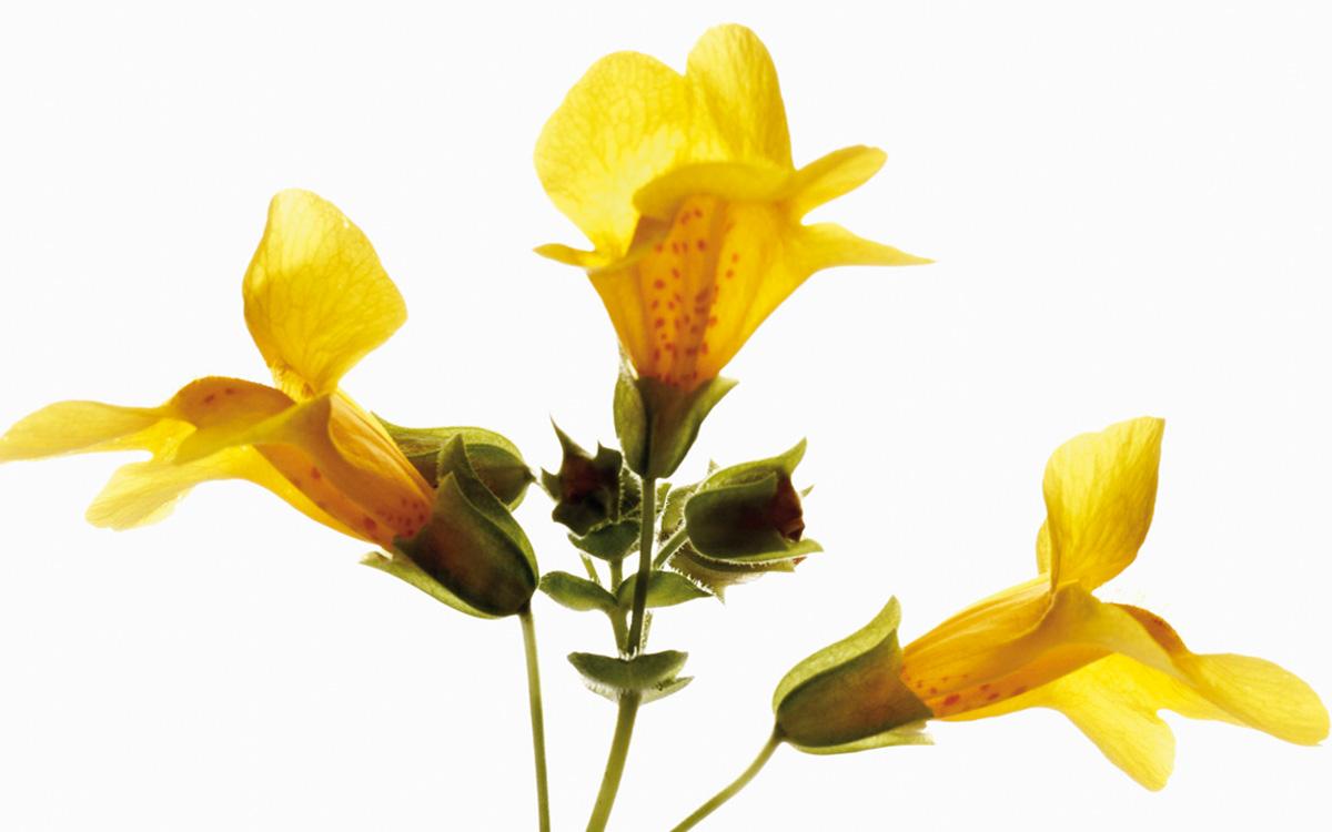 Gefleckte Gauklerblume 123rf