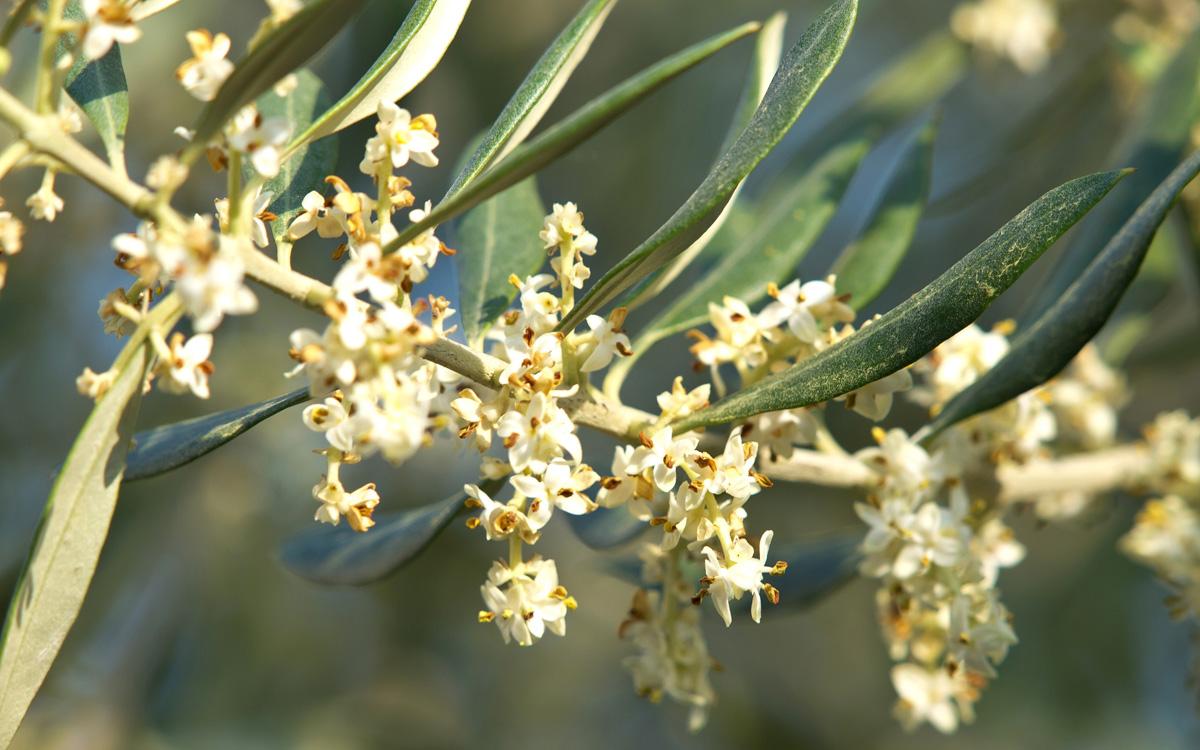 Olive 123rf