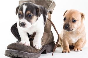 Hunde Welpen in Schuh 123rf