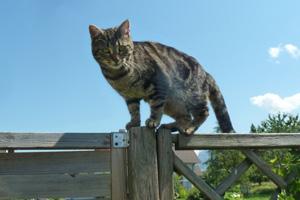 Katze Simba auf dem Zaun