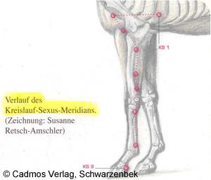 Kreislauf Sexus Meridian Verlauf beim Pferd Beitrag LebensPuls